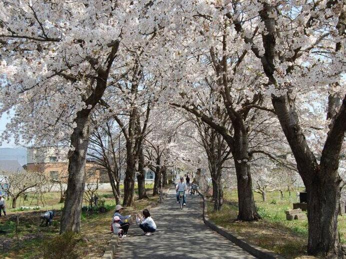 鉄道跡地の桜回廊!お花見サイクリングはいかが/まほろばの緑道の桜(山形県東置賜郡)