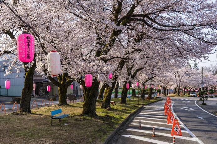 多種多様が楽しめる桜トンネル!夜桜のライトアップも/飯田市大宮通り桜並木(長野県飯田市)