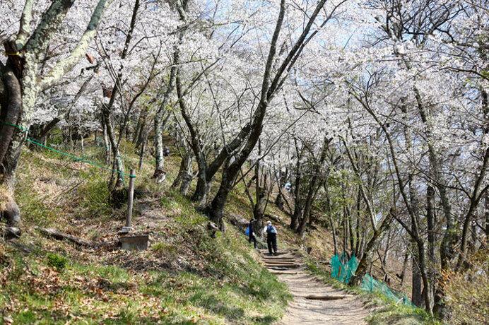 山頂へと龍のように咲き昇る桜!トレッキングもドライブも/光城山の桜(長野県安曇野市)