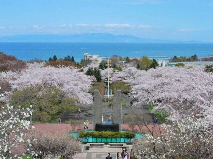 道の駅に隣接!この町だけの希少な桜あり/オニウシ公園の桜(北海道茅部郡)