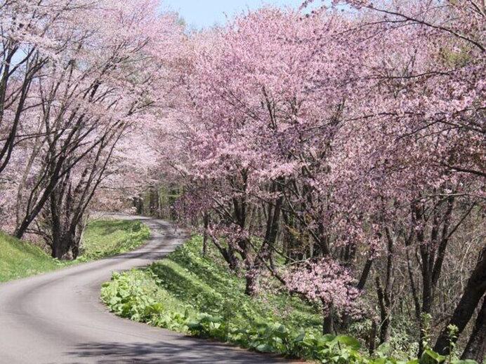 満開の桜トンネル!雲海も見えるかも!?/奈井江町にわ山森林自然公園の桜(北海道空知郡)