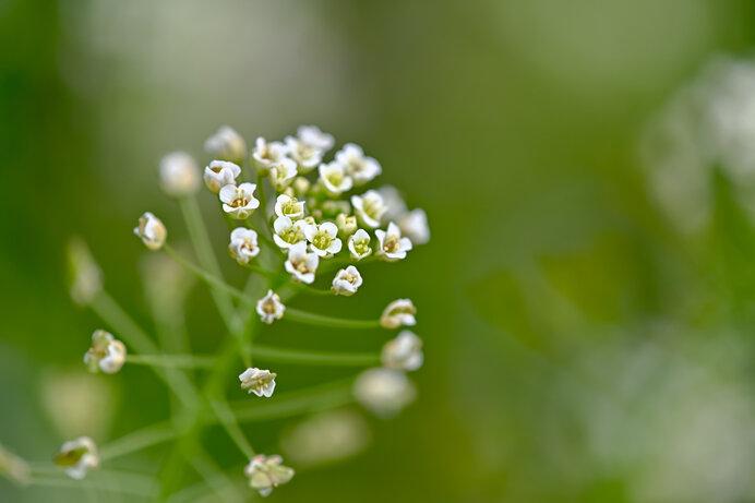 ぺんぺん草の花