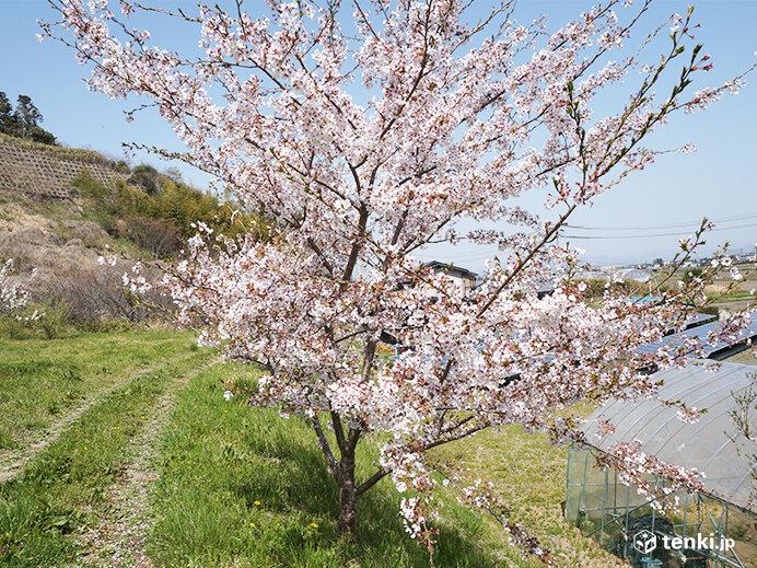 宮城県東松島市の復興記念桜(2019年4月23日撮影)