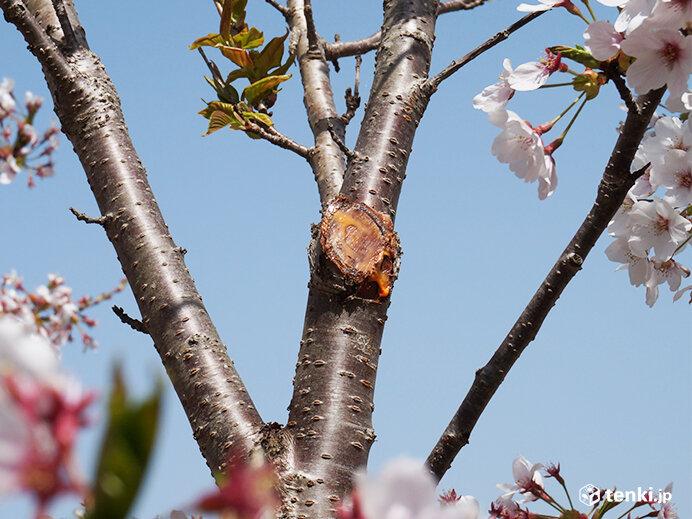 病気になった枝を切り落として、切り口を保護した桜(2019年4月23日撮影)