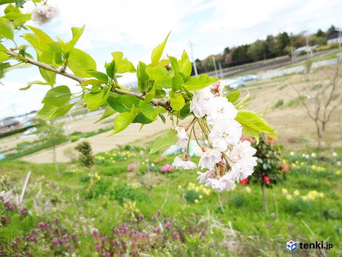 初めて開花した東松島市のシダレザクラ(2013年5月2日撮影)