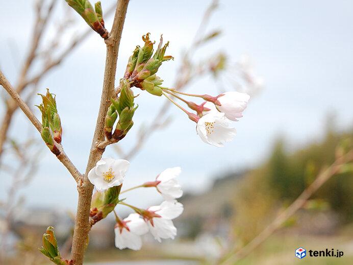 初めて開花した東松島市のソメイヨシノ(2014年4月21日撮影)