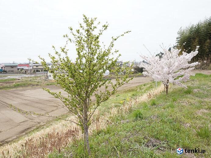 花が咲かない桜の木(2017年4月21日撮影)