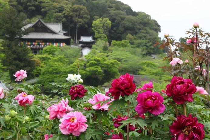 奈良大和路の長谷寺は名高いボタンの名所