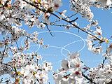 東日本大震災から10年 復興記念桜は大きく生長し満開 現地から今伝えたい想い