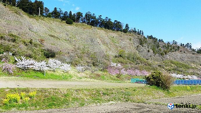 復興記念桜と矢本横穴墓群