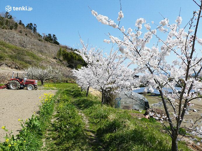 今年で9年目 「春を報(しら)せる百円玉プロジェクト」