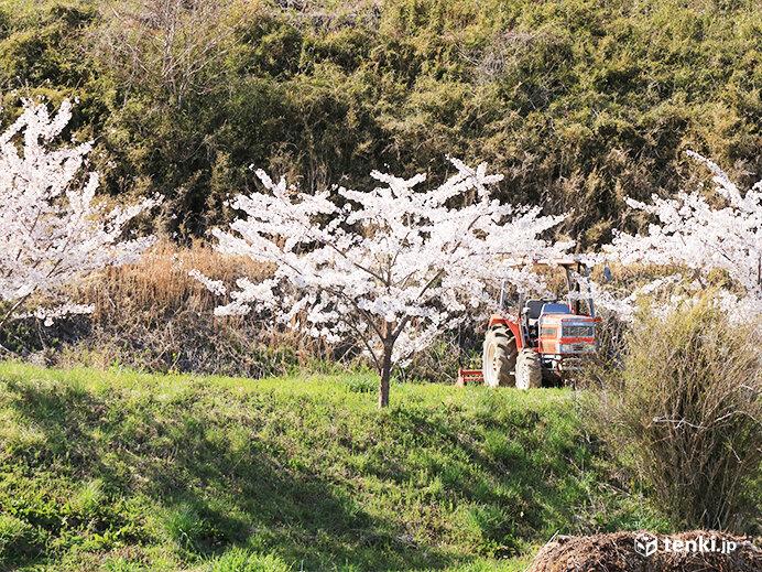 東日本大震災から10年 復興記念桜は大きく生長し満開 現地から今伝えたい想い_画像