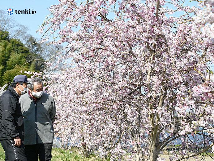 大きくなったシダレザクラと東松島市鹿妻自治会のお二人