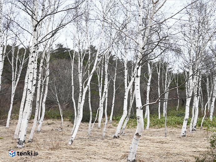 回避ルートの途中の白樺林