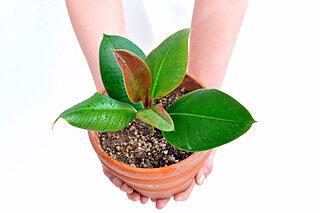 5月6日はゴムの日!永遠の幸せを願ってゴムの木を育てよう