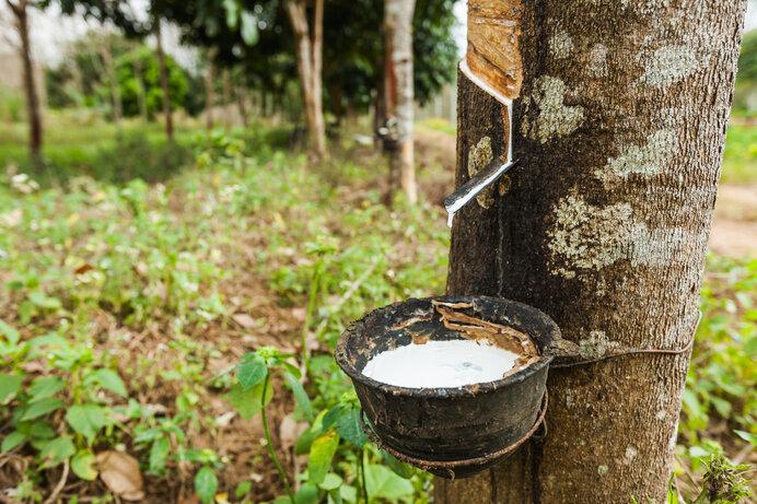 天然ゴムの木はほとんどが東南アジアで栽培されています