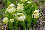 礼文島だけに咲く「レブンアツモリソウ」。絶滅の危機を乗り越えて