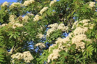秋に赤い実がなるナナカマド。春は白い花が咲きます