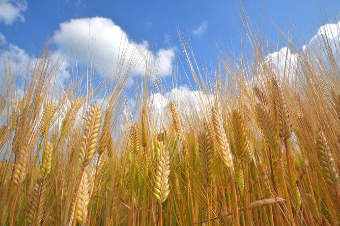 青空に向かう麦の稔り
