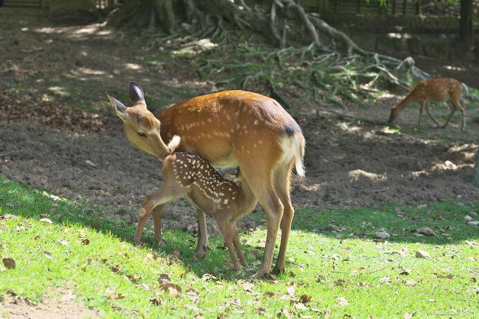 新生の子鹿と母鹿