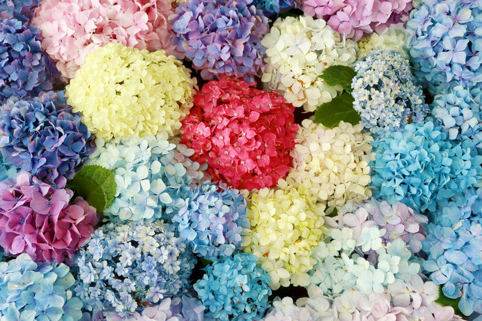紫陽花の魅力を再発見!ヨーロッパで見出された「東洋のバラ」