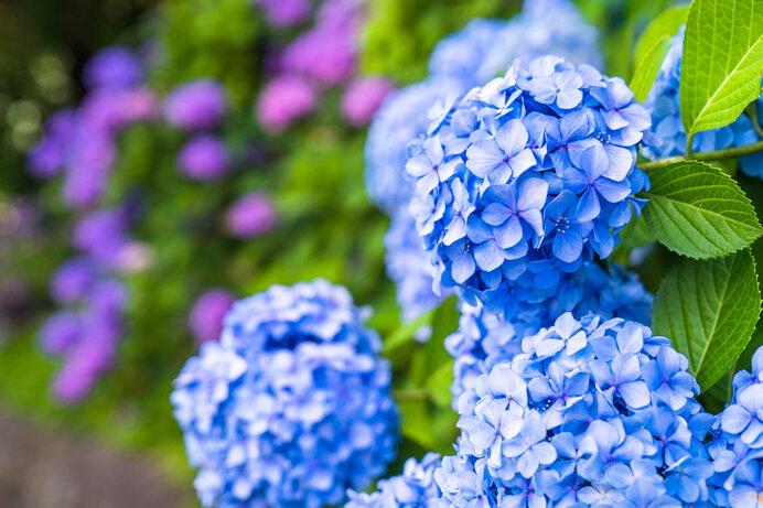 「紫陽花」はアジサイではない?花に見えるけど、花ではない!?