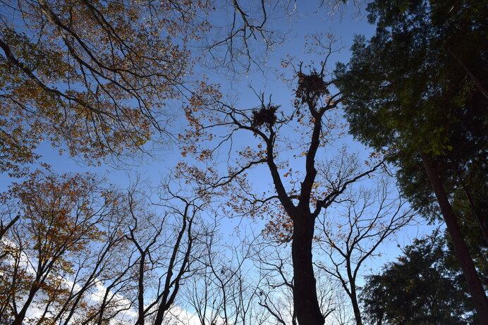 クマが木に登り、木の実を食べながら枝を座布団にした熊棚