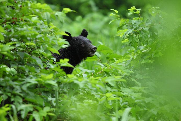 クマは日本列島の広大な森に寄り添い生きてきました