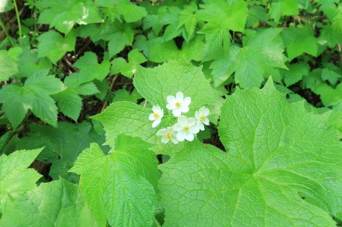 森林の湿った草地に生息。ハスのような大きな葉と、白い小さな花