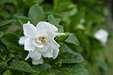 梅雨に甘く香る!クチナシの花はクチナシ色ではないって、ご存じでしたか?