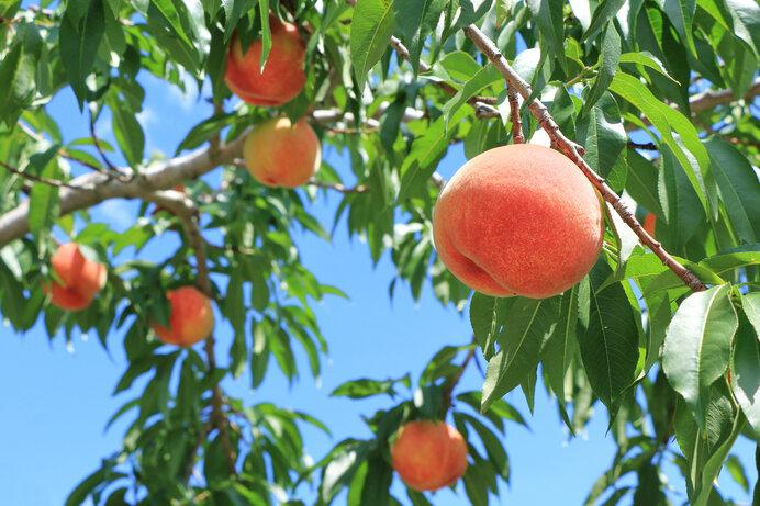 桃の実と桃の葉