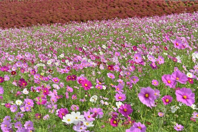 花もコスモス、宇宙もコスモス。両者の共通点は?