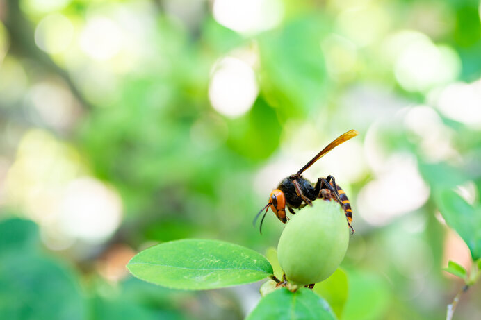 最恐・最悪の大害虫!? でも、もしスズメバチが全ていなくなったら…