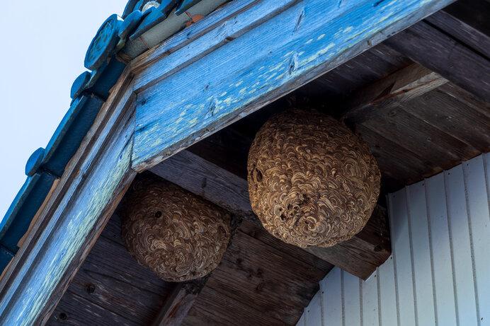 人家の軒下に作られたキイロスズメバチの巣。キイロスズメバチの天敵はオオスズメバチ