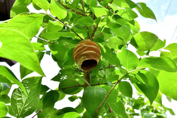 初夏に作り始められた巣。秋ごろ、次世代を育てるためにスズメバチたちは必死に