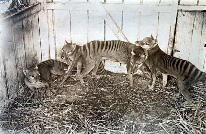 9月7日はタスマニアタイガーが絶滅した日。その絶滅の理由とは?