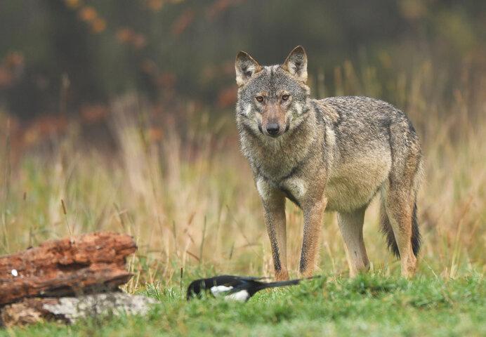 タイリクオオカミ。ニホンオオカミもその亜種と考えられ、生きていたらこんな姿だったのかも