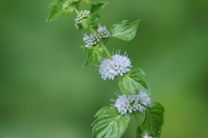 ニホンハッカ。かわいい花姿、そして鮮烈なミント香に驚きます