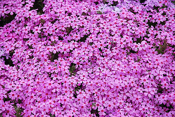 一面の 「芝桜」 は、まるでピンクの絨毯 !! GW後から花の見ごろを迎える道東へようこそ