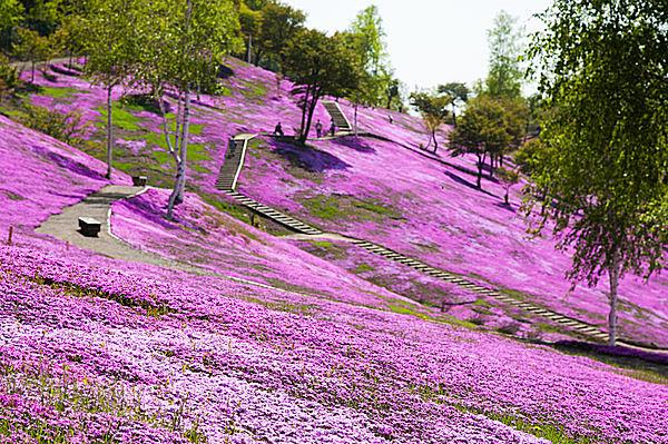丘一面の芝桜。見渡す限りのピンクのじゅうたん。