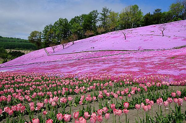 遠軽町の「太陽の丘えんがる公園」。芝桜とチューリップが同時に咲いている!!