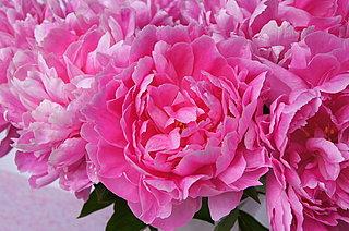 あでやかに麗しく咲く初夏の花≪芍薬(しゃくやく)≫は、女性にやさしい自然からのおくりもの