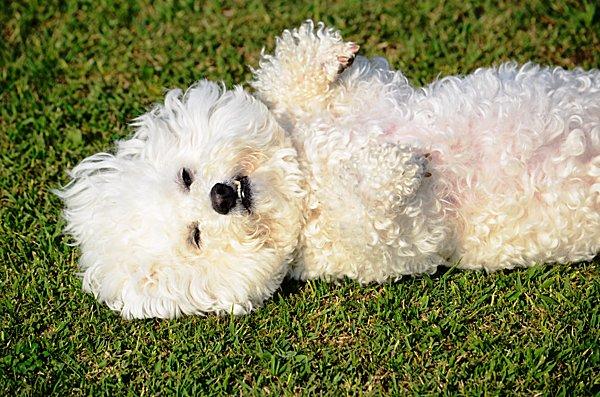 芝生の上にひっくり返ってゴロゴロ。そんな愛犬の姿に要注意。もしかしたらアレルギーかも⁉