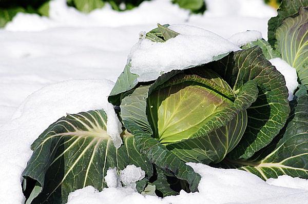 雪を待っていました!! 雪の下に埋める「越冬野菜」が甘くおいしくなる季節