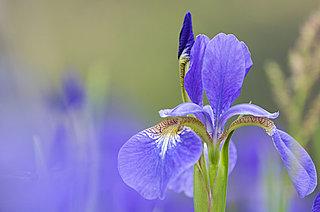 七十二候≪菖蒲華~あやめ はなさく~≫凛とたおやかに、優美に咲くアヤメ科の花たち