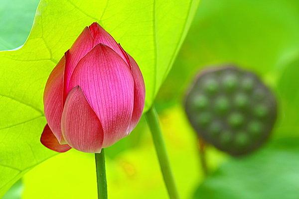 蓮の花を愛でるなら早起きを。崇高な花々が咲く風景は心洗われる極楽浄土のよう