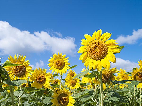 意外と知らない⁉ 成長期のひまわり、成熟期のひまわりそれぞれの、太陽との不思議な関係!