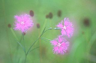 ≪花の歳時記≫古くは「常夏(とこなつ)」と呼ばれた可憐な花「なでしこ」
