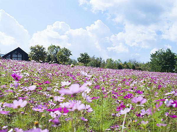 """「秋桜」 と書いて 「コスモス」。北海道の広~い公園で """"コスモス・フェスタ"""" 開催 !!"""
