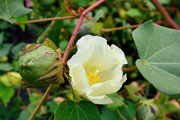 次々と誕生するコットンの花と、若い実。